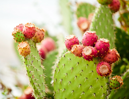 Prickly pear cactus close up with fruit in red color, cactus spines