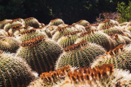 Field of round cactus plants in Costa Brava. Tossa de Mar, Catalonia, Spain. Stock Photo