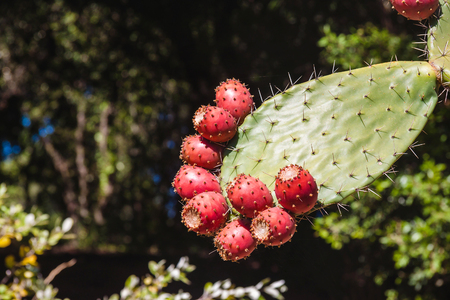 Prickly pear cactus close up with fruit in red color, cactus spines.