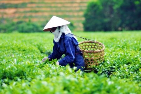hojas de te: Mujer hojas recolecci�n de t� en una plantaci�n de t� de Vietnam Foto de archivo
