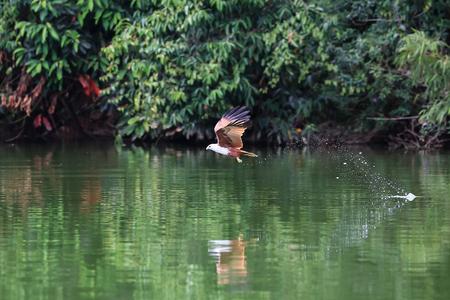 bird eating raptors: Red-backed Sea-eagle Stock Photo