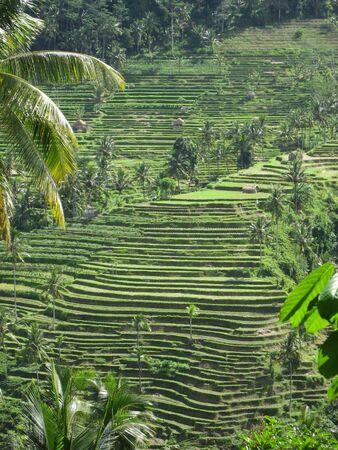 インドネシア ・ バリ島の棚田 写真素材