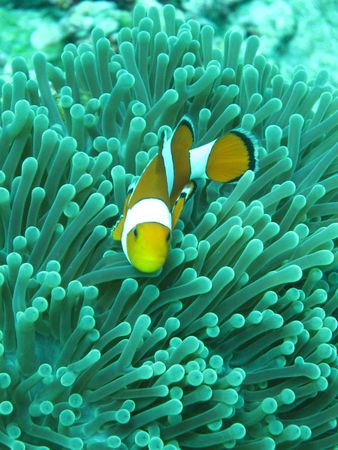 Clown fish in anemones Stock Photo - 4161881