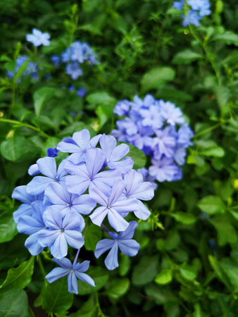 Plumbago auriculata,Cape plumbago or Cape leadwort in public park. It is an evergreen shrub and a medicinal herb plant. Standard-Bild