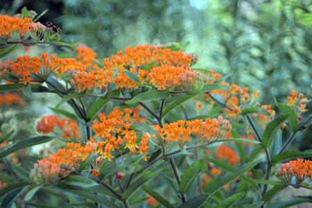 Closeup of Orange Flowers macro Lincoln Park Stock Photo