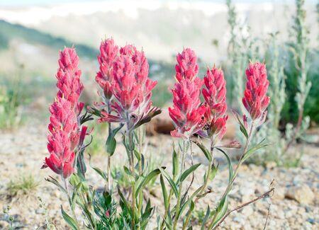 Pink Indian Paintbrush at Colorado Mountain Summit Stok Fotoğraf