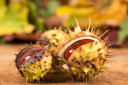 Closeup with horse chestnuts in shell and autumn background as late fall concept Stock Photo