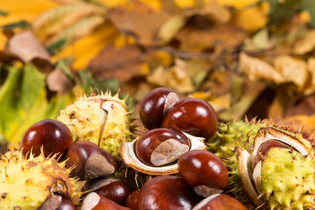 Bunch or pile of horse chestnuts or aesculus castánea on colorful autumn leaves