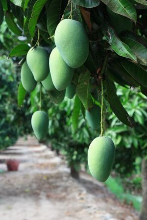 mango fruit: Mango farm Stock Photo