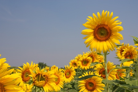 sunflowers in the field photo