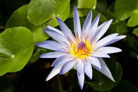 purple water lily photo