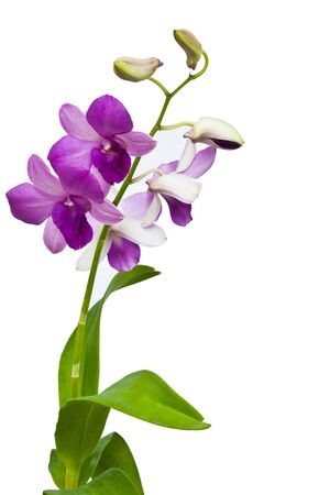 Orchid Stock Photo - 10315218