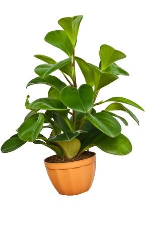 Ornamental plant in the pot photo