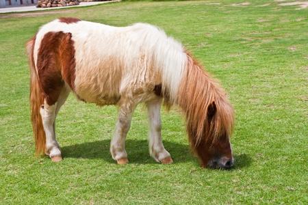 enano: caballo enano comiendo hierba