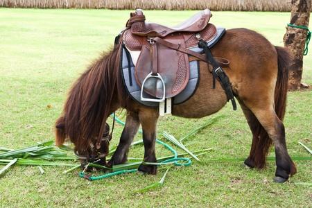 dwarf horse eating grass Stock Photo