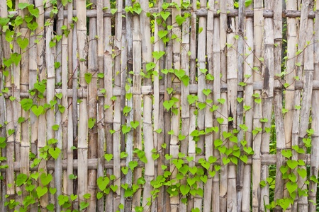 Vine on bamboo wall Stock Photo - 10728305