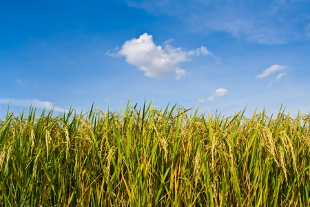paddy fields: Golden rice field and blue sky Stock Photo