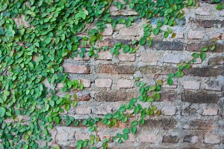 Vine growing on a brick wall  photo