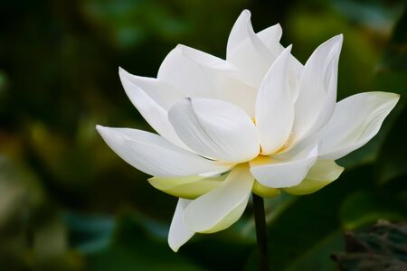 White lotus Stock Photo - 11453706