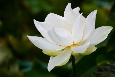 lotus leaf: White lotus