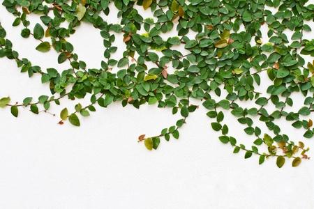 concrete block: Vine growing on a brick wall