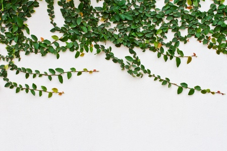 Vine growing on a brick wall photo