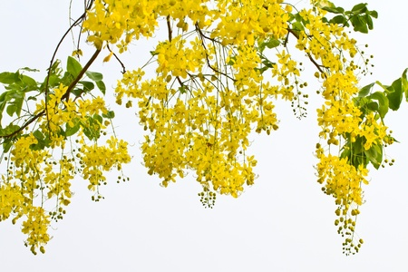 Golden Shower Tree, nationale boom van Thailand Stockfoto