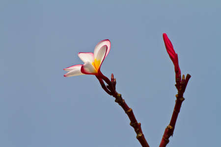 plumeria flower Stock Photo - 12536289