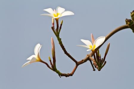 plumeria flower photo