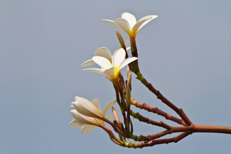 plumeria flower photo