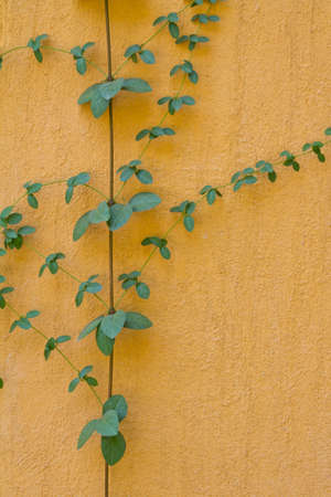 Vine on the orange wall  photo