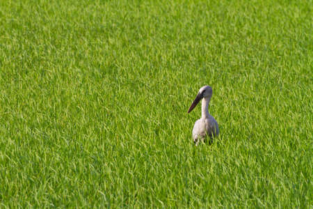 Asian Openbill finding food in rice field photo