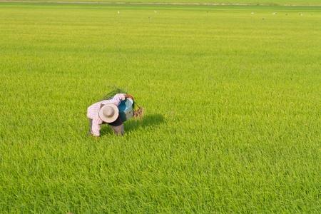 Farmer tire hacia arriba de malezas en los campos de arroz