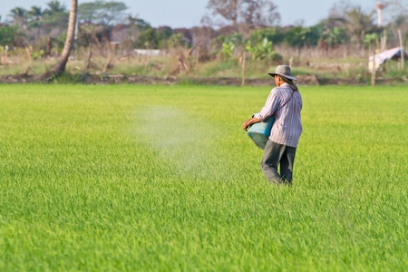 farmer sowing compost in rice field