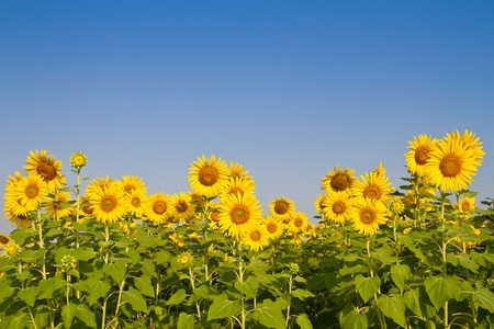 Girasoles en el campo con el cielo azul photo