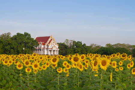 Thai temple in sunflower field Stock Photo - 12844829