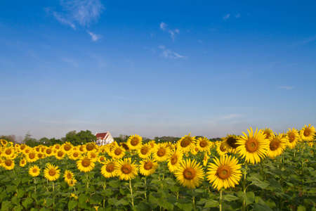 Thai temple in sunflower field Stock Photo - 12844832