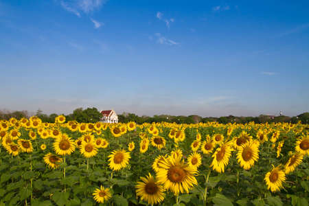 Thai temple in sunflower field photo