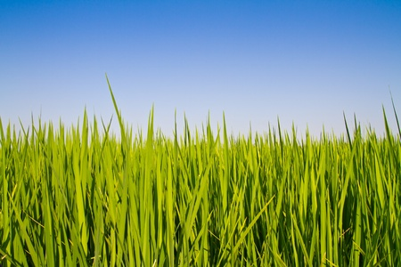 Rice leaf against blue sky Stock Photo - 12845537