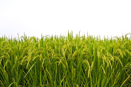 Rice field on white background