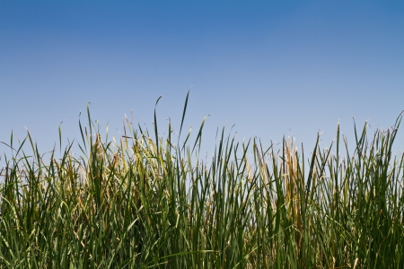 bullrush: Typha angustifolia forest against blue sky
