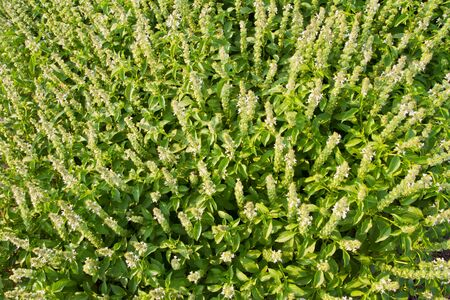 sweet basil with flowers photo