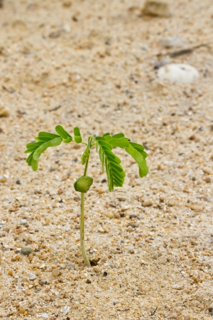 Small tamarind tree growing on dry sand surface photo