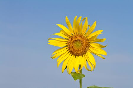 Sunflower against blue sky photo