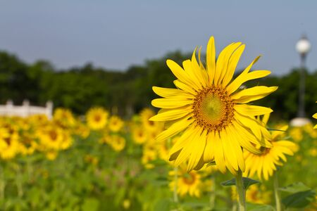 Sunflowers in the field with blue sky photo