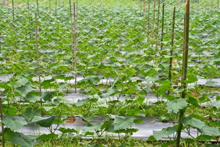 crop  stalks: Cucumber farm