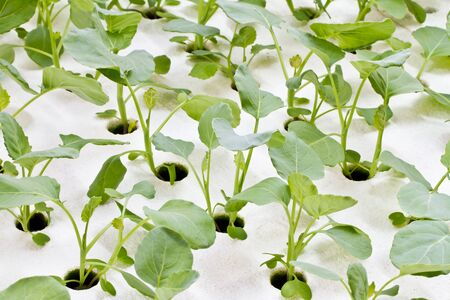 Hydroponics Vegetable ,the future nutrition photo
