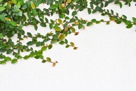 Green creeper plant on white background