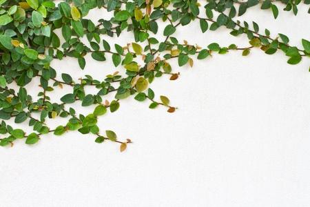 ivies: Rampicante pianta verde su sfondo bianco