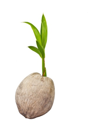 Sprout of coconut tree Stock Photo - 15735079